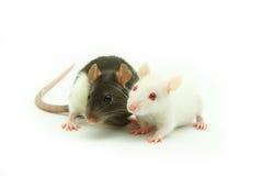 Ratti Fotografie Stock Libere da Diritti