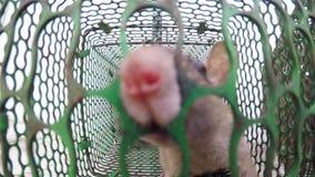 Ratti bloccati in una gabbia del metallo che prova a trovare un'uscita due ratti grandi e piccola lotta per la vita stock footage