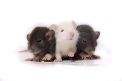 Ratti del bambino Fotografie Stock