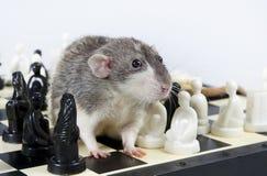 Ratti e scacchi fotografia stock