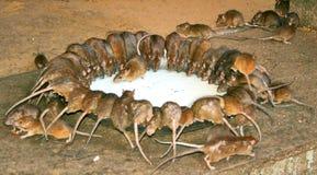 Ratti sacri Immagini Stock