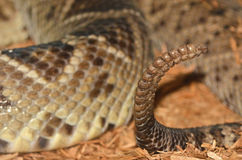 Rattle. The rattle on the end of a rattlesnake tail. The rattle is composed of a series of hollow, interlocked segments made of keratin. The muscles that cause Royalty Free Stock Images