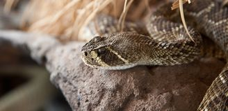 Rattle snake Royalty Free Stock Images