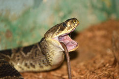 Rattle Snake. Eating a rat head first, with its forward wind pipe exposed, and fangs retracted royalty free stock photos