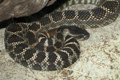 Rattle Snake Stock Images