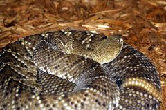 Rattle Snake. Coiled rattle snake with the tail and head in view royalty free stock photography