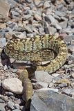 Rattle Snake Coiled royalty free stock photo