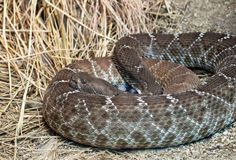 Rattle Snake Royalty Free Stock Photography