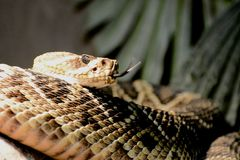 Rattle Snake Royalty Free Stock Image