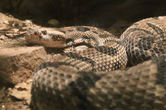 Rattle Snake Stock Photography