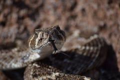 Rattle snake tongue. Western diamondback rattlesnake Stock Photo