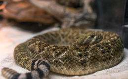 Rattle Snake Royalty Free Stock Photos
