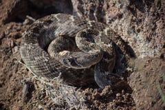 Rattle snake. Western diamondback rattle snake in oklahoma Stock Photos