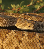 Rattler in The Sun Royalty Free Stock Image