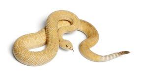 rattlesnake альбиносов западный с ромбовидным рисунком на спине - atrox Crotalus, отрава Стоковое Фото