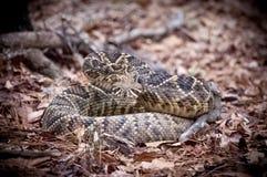 Rattlesnake в листьях Стоковые Изображения RF