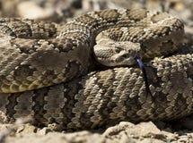 Rattlesnake свернутый спиралью к забастовке Стоковое фото RF