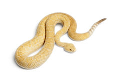 rattlesnake с ромбовидным рисунком на спине альбиносов западный Стоковые Фотографии RF