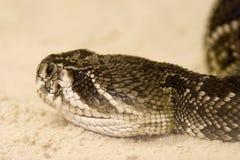 rattlesnake с ромбовидным рисунком на спине crotalus adamanteus восточный Стоковые Изображения