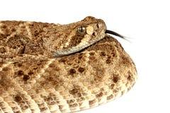 rattlesnake с ромбовидным рисунком на спине crotalus atrox западный Стоковые Фотографии RF
