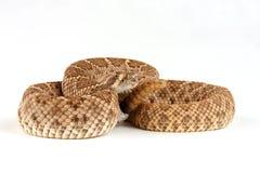 rattlesnake с ромбовидным рисунком на спине crotalus atrox западный Стоковые Изображения