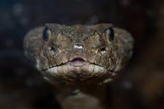 rattlesnake с ромбовидным рисунком на спине texas Стоковая Фотография RF