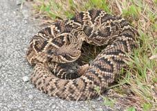 rattlesnake с ромбовидным рисунком на спине восточный Стоковые Изображения