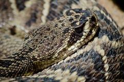 rattlesnake с ромбовидным рисунком на спине восточный Стоковое Изображение RF