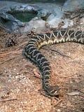 rattlesnake с ромбовидным рисунком на спине восточный Стоковые Фотографии RF