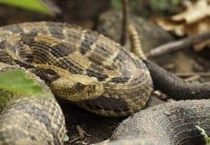 Rattlesnake тимберса Стоковое Изображение RF