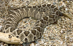 Rattlesnake 1 Stock Photo
