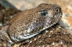 Rattlesnake. Closeup head poisonous snake rattlesnake Stock Photo