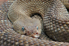 The rattlesnake. This rattlesnake was very activ in a terrarium royalty free stock photo