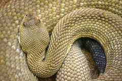 Rattlesnake royalty free stock photography