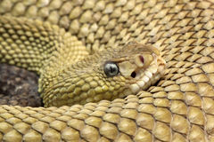Rattlesnake Royalty Free Stock Photos