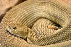 Rattlesnake Royalty Free Stock Photography