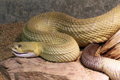 rattlesnake Стоковое Изображение