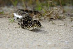 Rattlesnake. An eastern diamondback rattlesnake in the Everglades, Big Cypress National Preserve Stock Photo