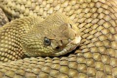 Rattlesnake Royalty Free Stock Images