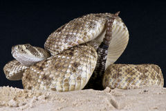Rattlesnake Stock Photos