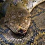 rattlesnake Stock Afbeelding