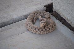 rattlesnake Stock Fotografie