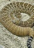 rattlesnake Стоковые Изображения