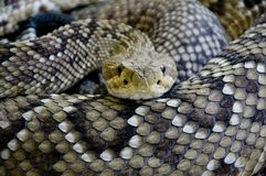 Rattlesnake. A rattle snake in the terra zoo Royalty Free Stock Photos
