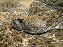 rattlesnake Photos libres de droits