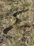 Rattlesnake. In grass in southern Alberta Royalty Free Stock Images