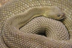 Rattlesnake. Resting on warm sand Stock Images