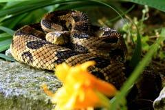 Rattlesnake Royalty Free Stock Image