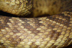 Rattlesnake backdrop Stock Photos