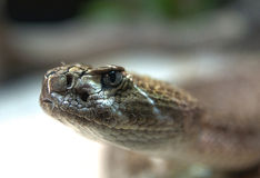 Rattlesnake. Close up of a western diamondback rattlesnake (Crotalus atrox Royalty Free Stock Images